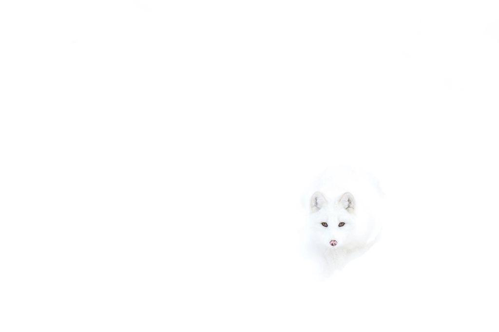 raposa 11