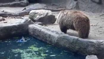 Urso apanha corvo que caiu à água e surpreende turistas