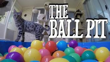 Gato em piscina de bolas