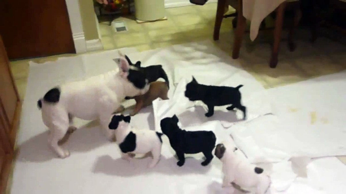 Bulldog francês a brincar com as suas crias