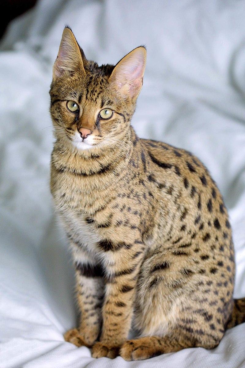 raças de gatos mais caros do mundo - Savannah