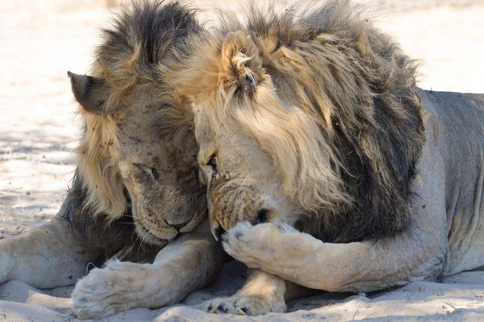 Vida selvagem em fotos hilariantes - Leões a Cochichar