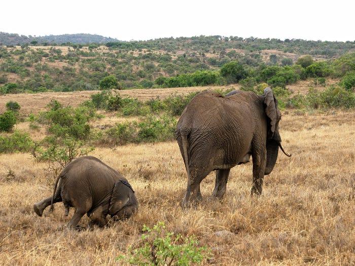 Vida selvagem em fotos hilariantes - elefante perde o equilibrio
