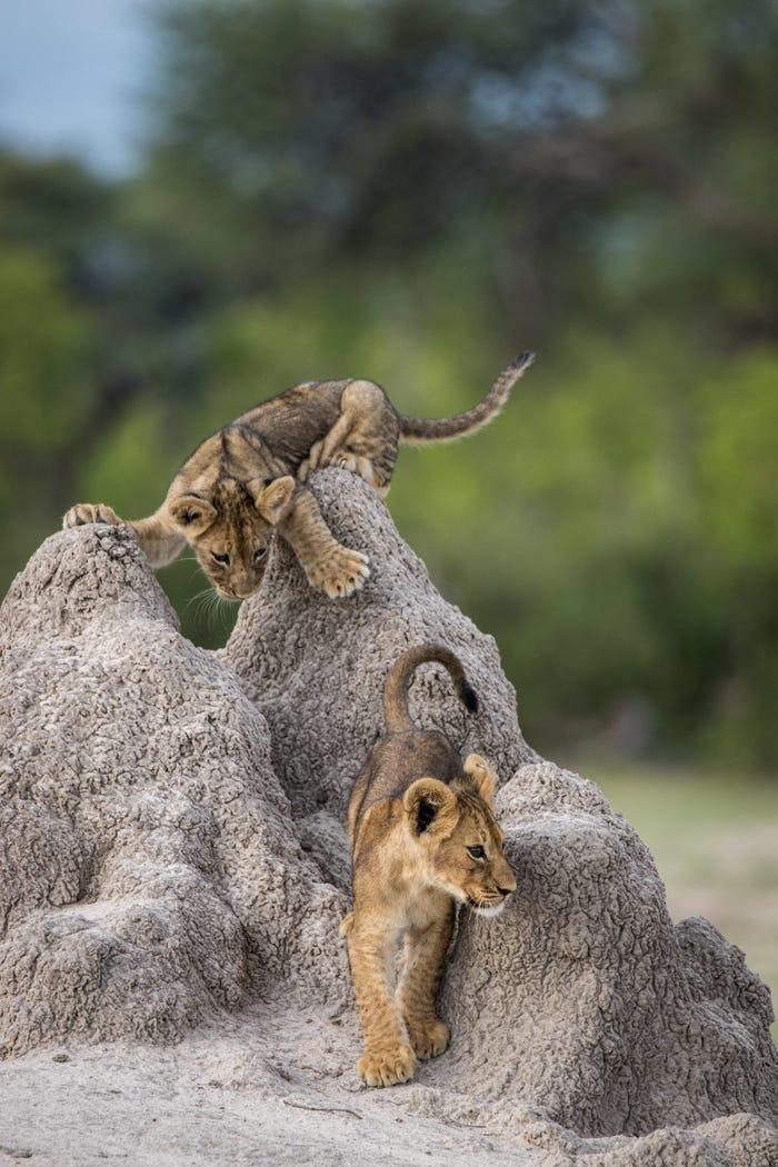Vida selvagem em fotos hilariantes - leoes a brincar