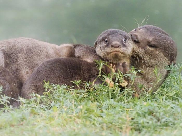 Vida selvagem em fotos hilariantes - lontra de pelagem lisa