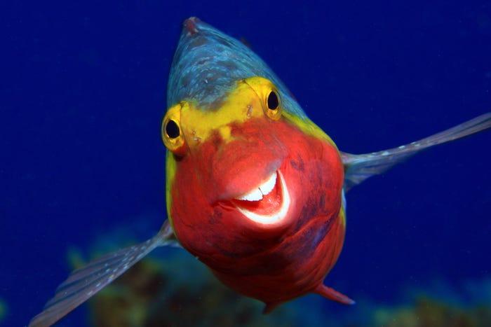 Vida selvagem em fotos hilariantes - parrotfish