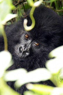 Gorilla soul