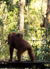 Tired infant orangutan