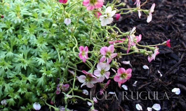 lola rugula flowers