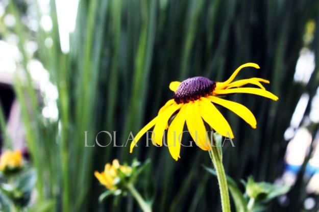 lola rugula black eyed susan flower image