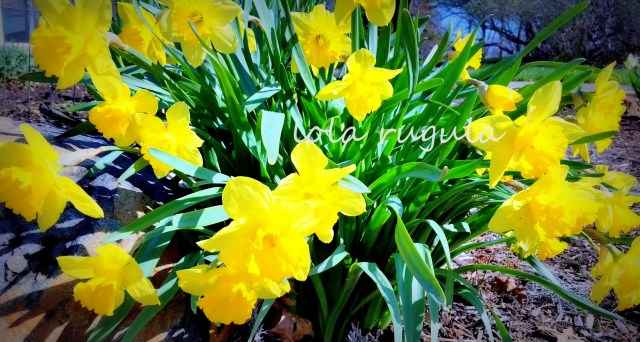 lola-rugula-daffodils-photo