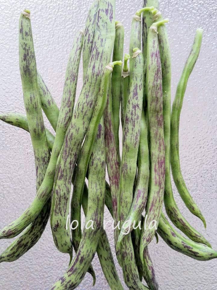 lola-rugula-how-to-grow-rattlesnake-beaans
