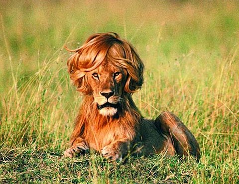 Lion Hair Style