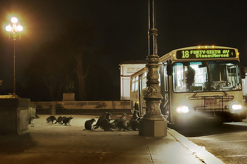 Raccoons Ride The Bus