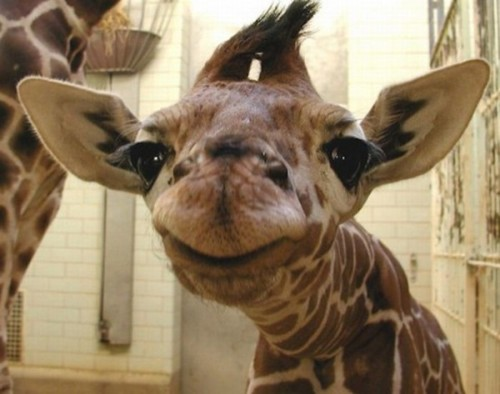 Smile. Some Giraffe Likes You.