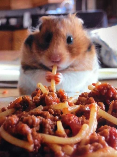 Hamster eating spaghetti.