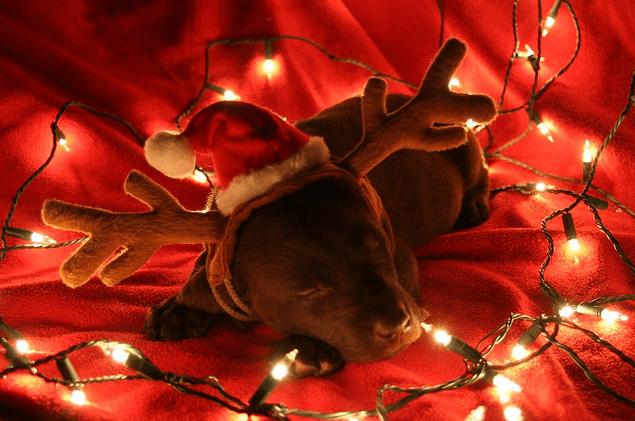 Reindeer Puppy