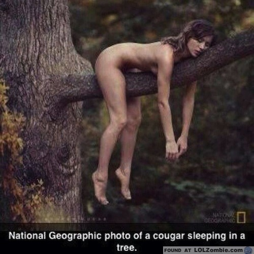 Cougar in a Tree