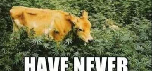 Cow in Grass field.