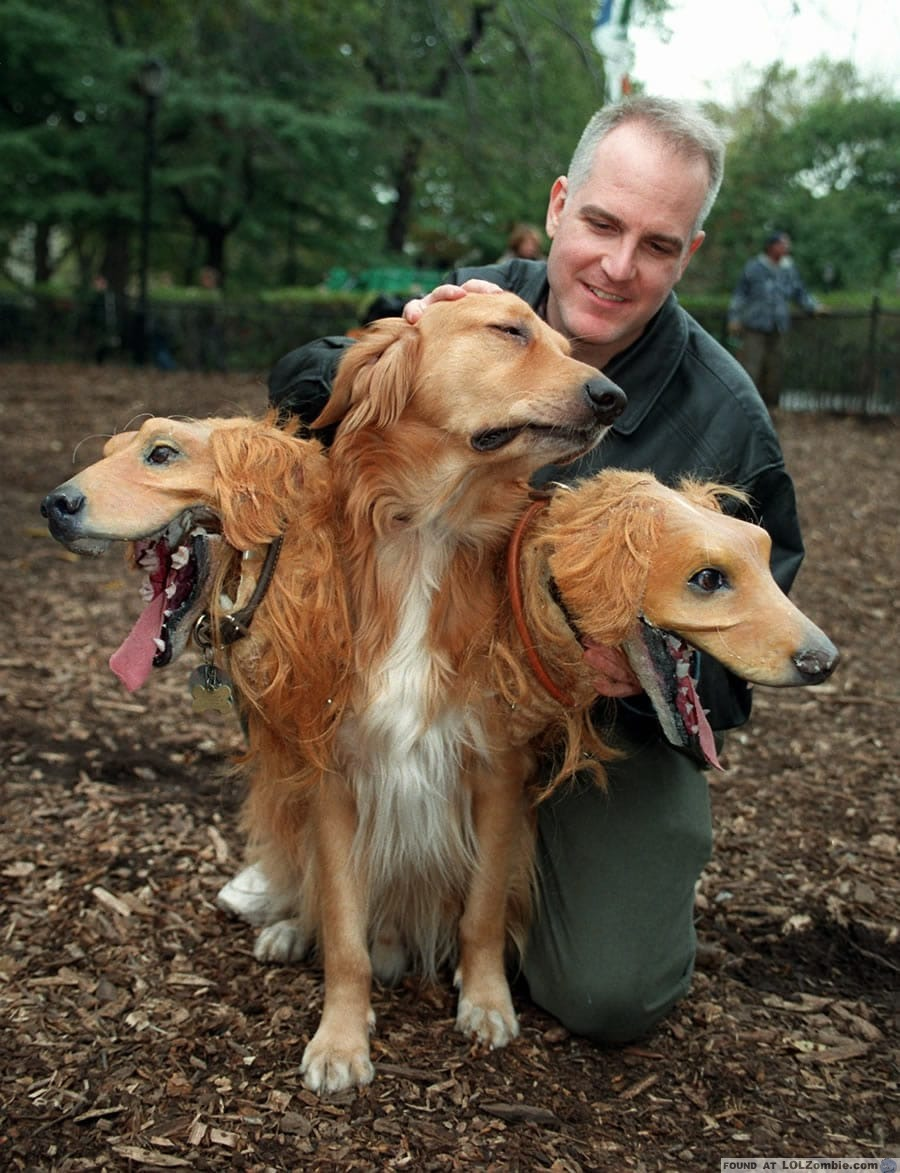 Golden Retriever with three heads.