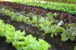 rows-of-lettuce