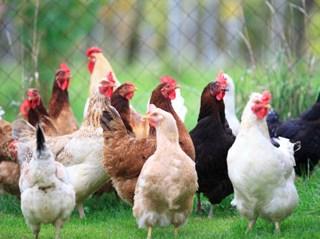 Lombrichi e galline vanno d'accordo? Ecco come fare allevamenti bio e autosufficienti