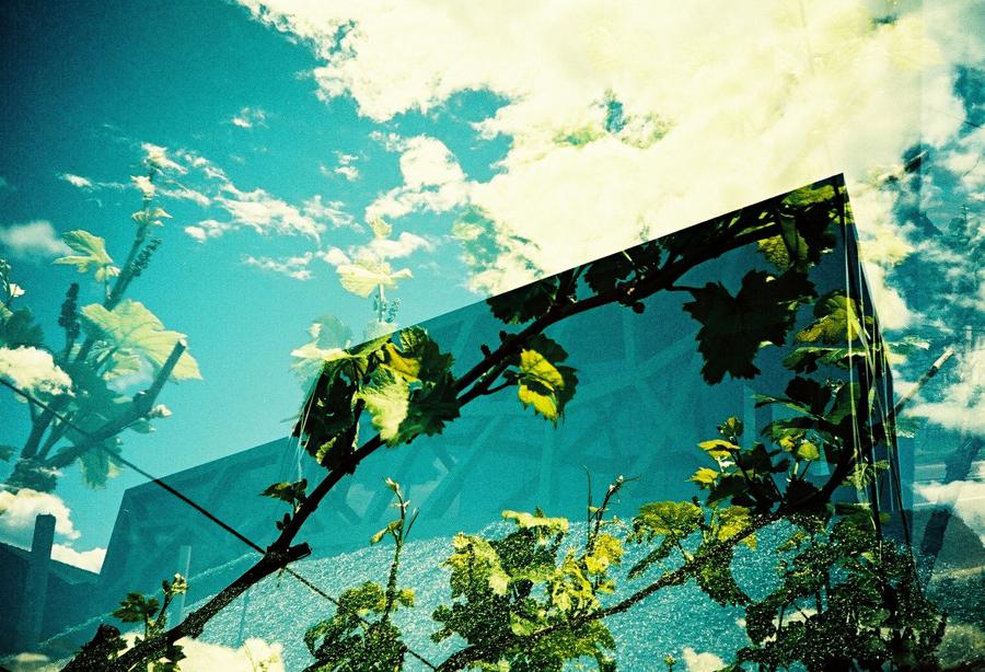 Doppelbelichtung: Echte Weinreben in der der Kellerei Tramin