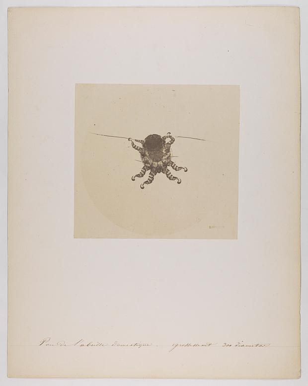 Auguste Adolphe Bertsch Honey Bee louse