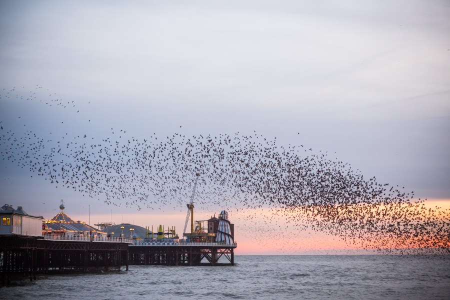 Brighton starling murmuration and Brighton Pier by Kevin Meredith