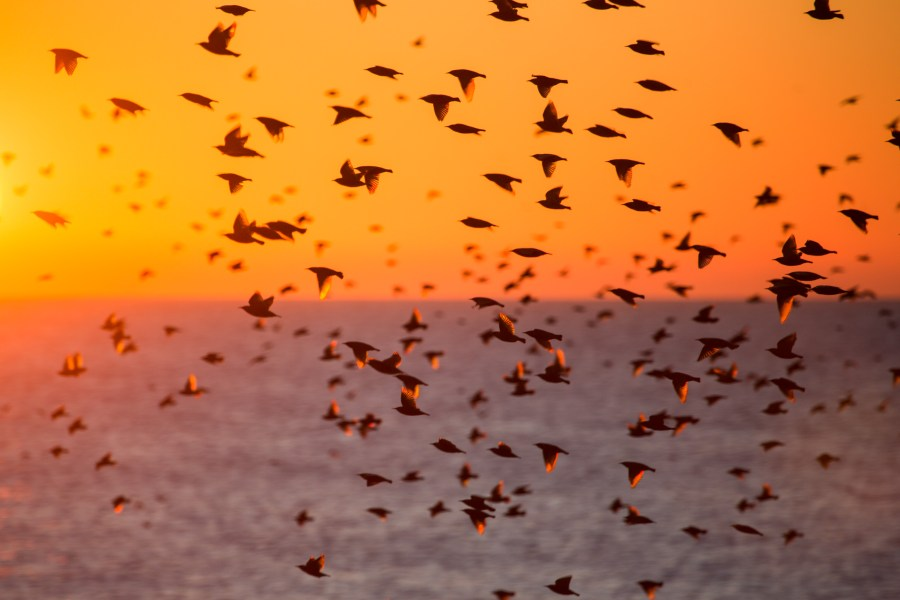 Brighton starling murmuration at sunset by Kevin Meredith