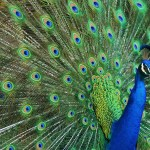 Peacock Tailfeathers