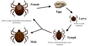 The life cycle of a deer tick. Public domain image courtesy of the CDC https://commons.wikimedia.org/wiki/File:Life_cycle_of_ticks_family_ixodidae.PNG