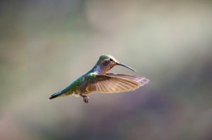 "Runner-up 2016 - Biotic Category - ""Hummingbirdus californicus"". Image by Waheed Arshad."