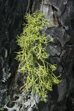 Letharia vulpina, one of many lichen species globally that houses yeast as a third symbiotic partner.