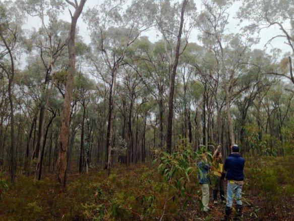 DTP student Gemma Taylor tracks endangered Regent honeyeaters reintroduced in Chiltern, Australia. Image by Hihi News.