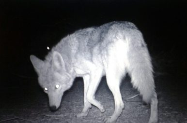 A Cayote caught on our camera trap at Joshua Tree National Park in 2017. Image credit: Monika Bohm, Claire Asher, Harry Owen, Sarah Johnson, Ella Browning, Sergio Henriques.