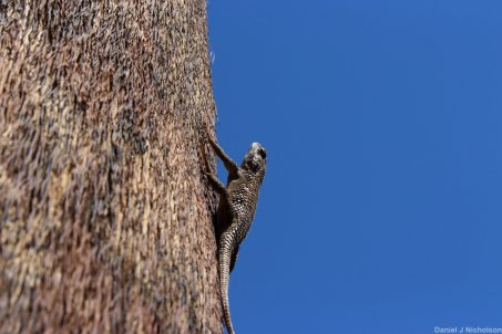 Desert Spiny Lizard in Palm Canyon. Image copyright Dan Nicholson.