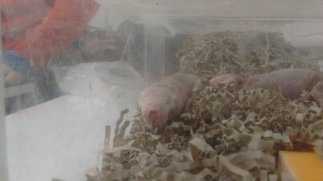 Cohort 3 meet some naked mole rats during their training at Queen Mary. Image by Dan Nicholson.