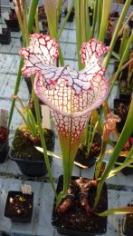 Carnivorous plants at Kew Gardens. Image by Dan Nicholson.