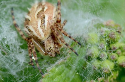 Spider photographed on Santa Cruz island. Image copyright Joe Williamson.