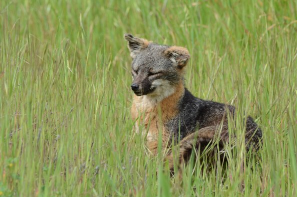 Island fox photographed on Santa Cruz Island (Channel Islands) in California. Image by Joe Williamson.