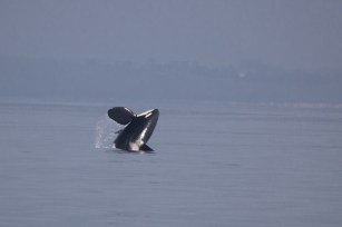 The orca breaches near our boat. Photograph by Adrienne Kerley.