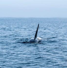 The bull orca swims towards our boat. Photograph by Richard Clark-Wilson.