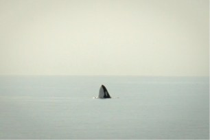 An orca spyhopping and taking a look at our boat. Image by Rosie Williams.