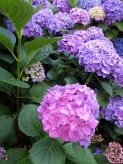 Hydrangeas in Greenwich Park