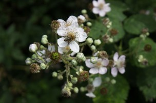 Brambles & bees in Ladywell Fields