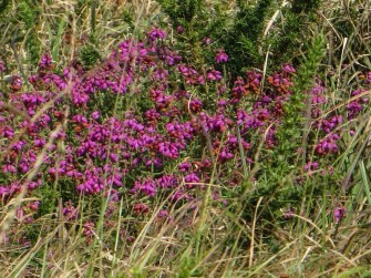 Heather in the Monts d'Arrees