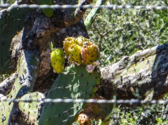 Prickly pears in the veld betweeen Graaff Reinet & PE