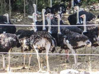 Ostrich country in De Rust