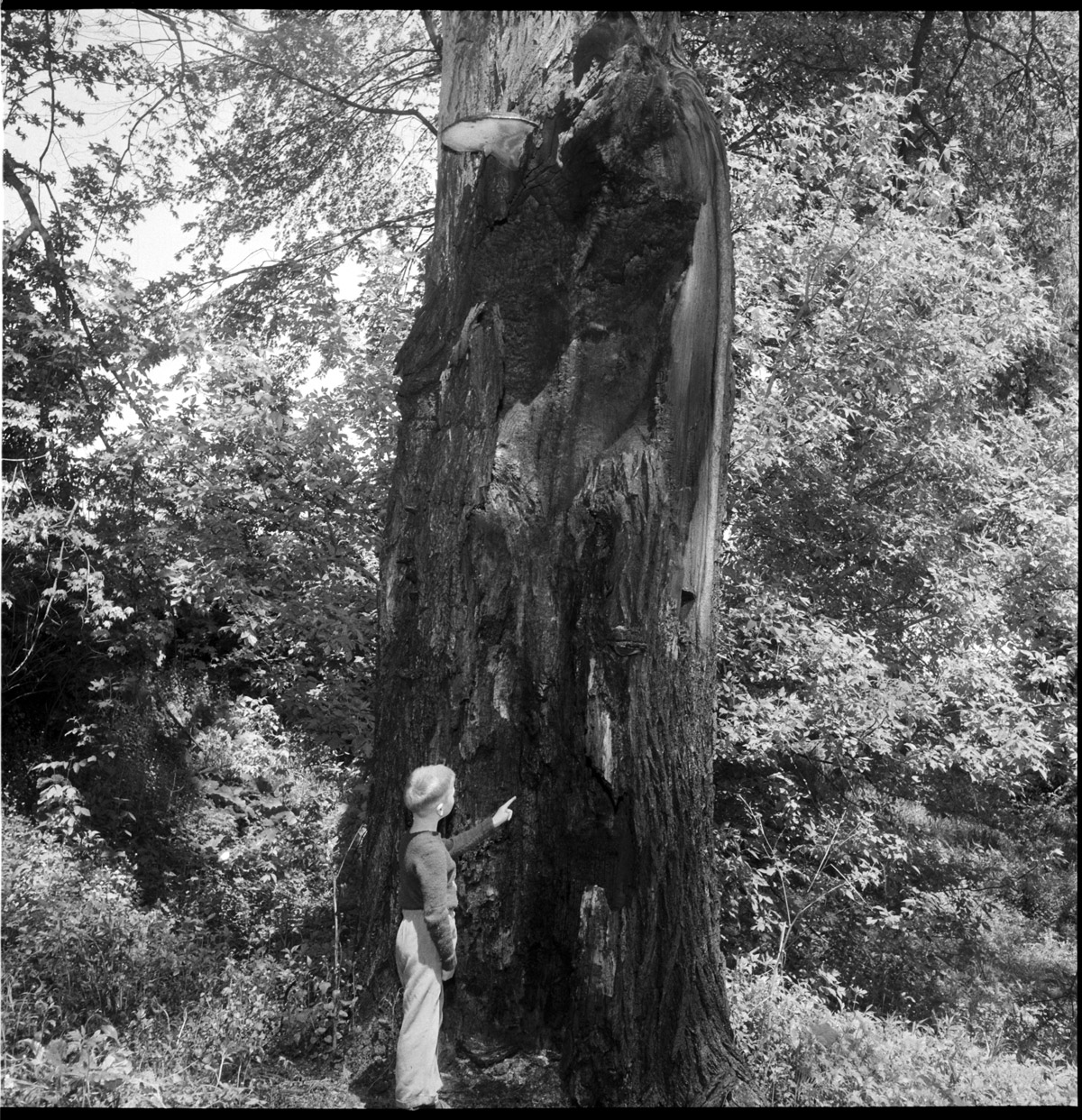 Small boy examining the very large standing burnt out tree trunk.